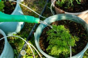 sweet wormwood planting method