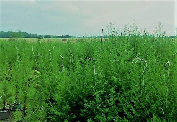 Artemisia Annua farming
